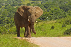 Large african elephant walking on a gravel road Royalty Free Stock Photos
