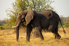 Large African Elephant. African Elephant is walking in savanna Royalty Free Stock Photography