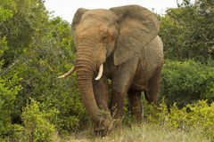 Large African elephant walking through thick bush Royalty Free Stock Images