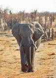 Large African Elephant walking towards camera in Hwange National Park royalty free stock photo