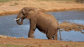 Large African elephant walking at a waterhole stock video