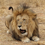 Large African Lion growling Stock Photography