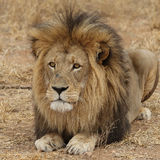 Large African Lion looking Stock Photo
