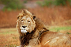 Large African Male Lion stock photos