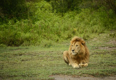 Large African male lion laying in grassland of Africa Stock Image