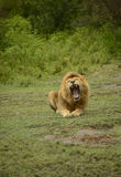 Large African male lion roaring Stock Images