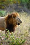 Large African Male Lion. Standing in grass profile Royalty Free Stock Photos