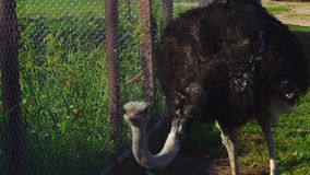 A large African ostrich bird walks the inner courtyard of the zoo. The ostrich searches for edible grass and eats it. stock video