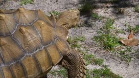 Large African Sulcata turtle. Sulcata tortoise, African spurred tortoise Geochelone sulcata is one of the largest species of tortoise in the world. Large stock video footage