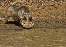Large african warthog. Male drinking from a waterhole Stock Image