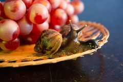 A pair of snails on a wicker plate with red grapes royalty free stock photography