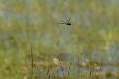 Large Airborne Canada Darner Dragonfly Royalty Free Stock Photography
