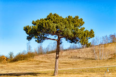 The large Akazie alone in the steppe Royalty Free Stock Photo