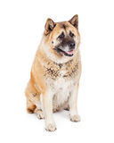Large Akita Dog Sitting Looking to Side Stock Photos
