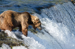 Large Alaska brown bear waiting for salmon Stock Image