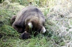 Large Alaskan brown bear sleeping in the woods Royalty Free Stock Photo