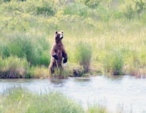 Large Alaskan brown bear standing on its hind legs Royalty Free Stock Photography