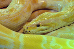 Large Albino Burmese Python. A large coiled albino burmese python. A feral species in places like the everglades which is out competing many other species, and stock images