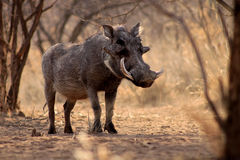 Large Alert Warthog Male. Under Bushveld Trees Stock Photography