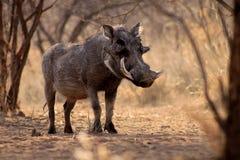 Large Alert Warthog Male. Under Bushveld Trees Stock Photography