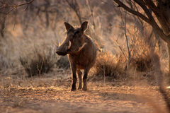 Large Alert Warthogs Male Stock Image