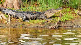 Large Alligator Stock Photography