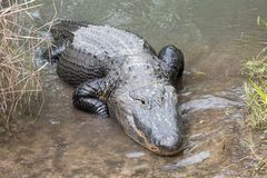 Large alligator crawling. A large alligator crawls onto land Stock Photos
