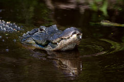Large alligator in Florida swamp Royalty Free Stock Photo