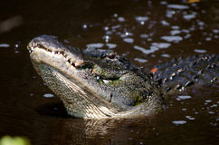 Large alligator in Florida swamp Stock Photography