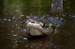 Large alligator in Florida swamp Stock Images