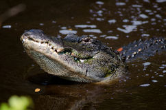 Large alligator in Florida swamp Royalty Free Stock Image