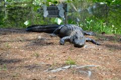 Large Alligator near the Water. A big gator in his element Stock Photo