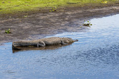 Large alligator submerged in a Florida swamp. Royalty Free Stock Photography