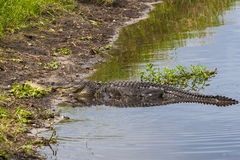 Large alligator submerged in a Florida swamp. Stock Photography