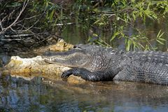 A Large Alligator Sunning royalty free stock images