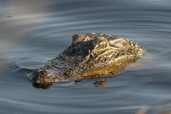 Alligator waiting for prey in marsh royalty free stock photos