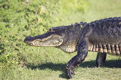 Large Alligator walking Royalty Free Stock Photography