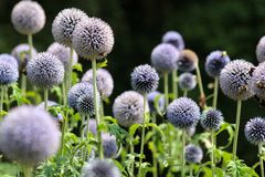 Large allium flower heads bees flying Stock Images
