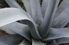 Large aloe. Aloe plant with large grey leaves Royalty Free Stock Photography