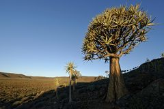 Large Aloe tree Stock Photo
