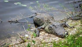Large American Alligator  (Alligator mississippiensis) Stock Image
