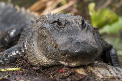 American Alligator close up in the Okefenokee Swamp royalty free stock photo