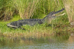 Large American alligator in Florida. Large American alligator in St. Marks National Wildilfe Refuge, Florida Stock Images