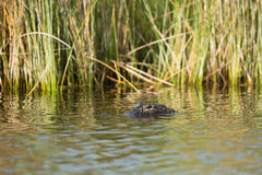 Large American alligator in Florida. Large American alligator in St. Marks National Wildilfe Refuge, Florida Stock Photos