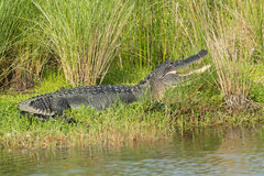 Large American alligator in Florida. Large American alligator in St. Marks National Wildilfe Refuge, Florida Royalty Free Stock Photos