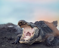 Large American Alligator. With its Mouth open Royalty Free Stock Image