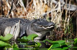 Large American Alligator Laying In The Swamp Showing Teeth Stock Photography
