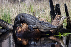 Large American Alligator, Okefenokee Swamp National Wildlife Refuge Royalty Free Stock Images