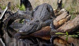 Large American Alligator, Okefenokee Swamp National Wildlife Refuge Stock Image