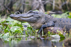 Large American Alligator, Okefenokee Swamp National Wildlife Refuge. American Alligator, Alligator mississippiensis, basking on log in spatterdock lily pads stock image